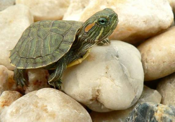 的宠物龟_为宠物龟修剪指甲